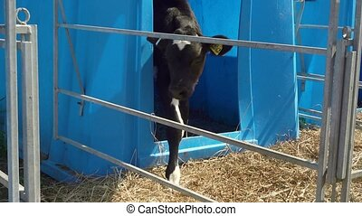 Video of calf in the stall - real life in collective farm