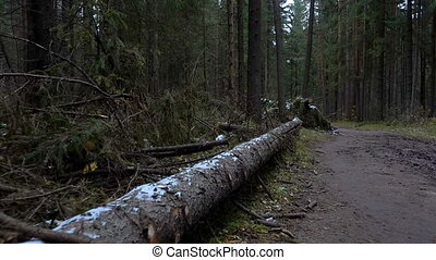 Video of fallen fir tree in the forest in late autumn