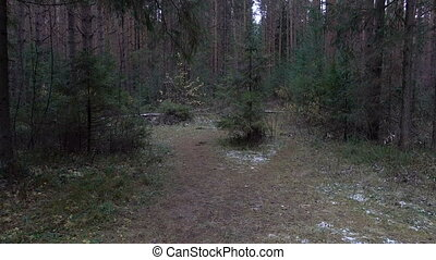 Video of fir trees in the forest