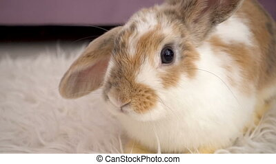 Video of fluffy beige rabbit - Video footage of fluffy beige...