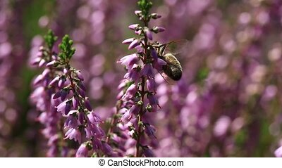 Video of honey bee pollinating flowering Heather shrub with...