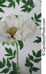 Video of pattern green leaf peony flower plants isolated on...