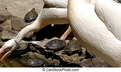 pelicans and turtles - video of pelicans and turtles on ...