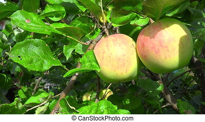 Video of ripen apples hanging on the tree in sunny day