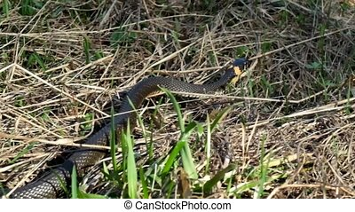 Video of slithering snake on the grass