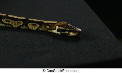 Video of snake - ball python - Footage of royal ball python...