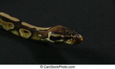 Video of snake - looking royal python - Footage of royal...