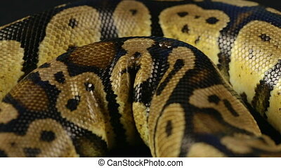 Video of snakeskin - crawling python - Footage of royal ball...