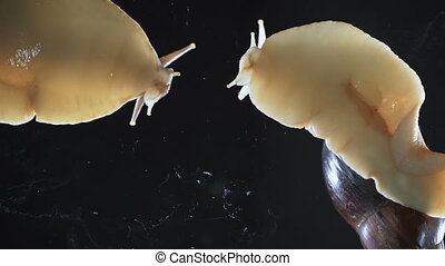 Video of two Achatina snails on black background - Video of...