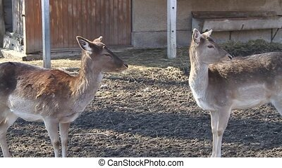 video of two deers - farm illustration