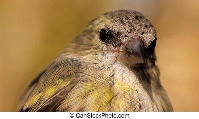 Video portrait of bird Siskin, who sways on branch