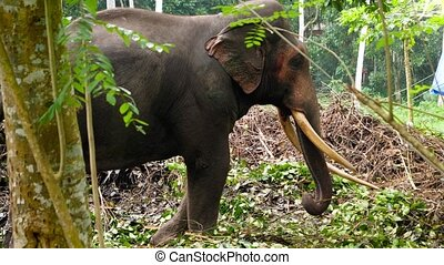 video, słoń, dżungla, reputacja, 4k, las, samotny, stary, ...