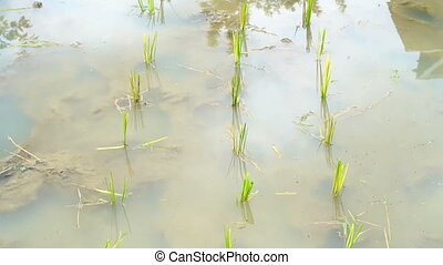 Video small rice field puddle. Start to grow young rice on ...