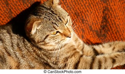 video tabby cat lying with eyes closed - video tabby cat...