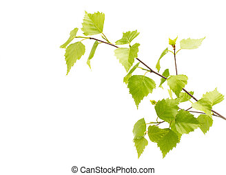 vidoeiro, folhas, de, a, árvore.