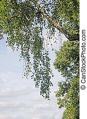 vidoeiro, ramo