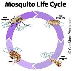 vie, diagramme, cycle, projection, moustique
