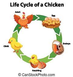 vie, diagramme, poulet, cycle, projection