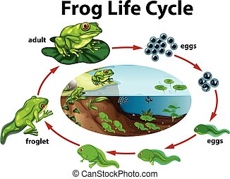 vie, grenouille, cycle