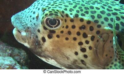 vie, -, mer, purgeonfish