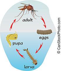 vie, -, moustique, cycle