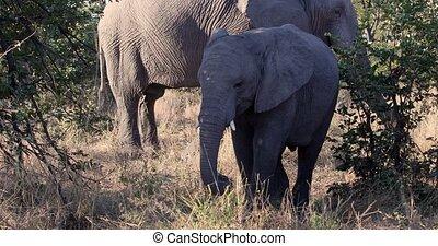 vie sauvage, éléphant, botswana, moremi, africaine, safari