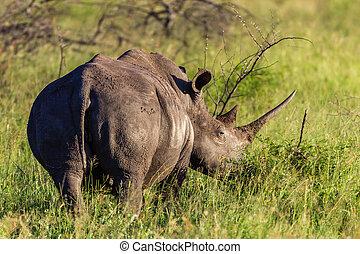 vie sauvage, animal, rhinocéros