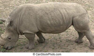 vie sauvage, critically, simum)., species., (ceratotherium, méridional, simum, rhinocéros, animal mis danger, animal., blanc