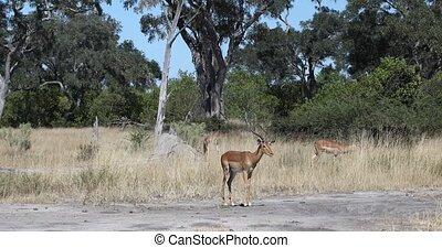 vie sauvage, namibie, afrique, antilope, impala, safari