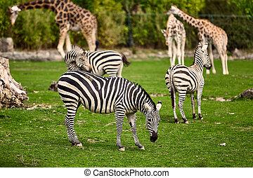 vie sauvage, zebra, girafe, parc