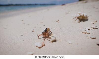 vie sous-marine, plage., bali, arthropods., crustacés, île, ...