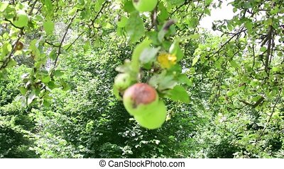 Vief of apple tree. Wild-growing apple tree.
