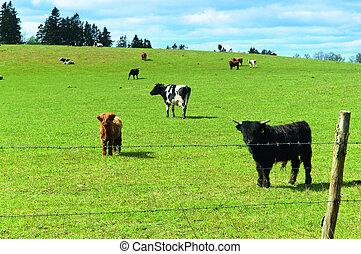 vieh, zucht, landwirtschaft, bauernhoftiere, schottische , hochland, kühe weiden, in, a, feld, bei, der, wald