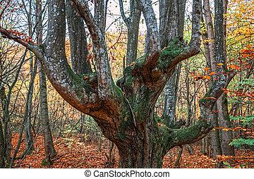 vieil arbre, dans, forêt automne
