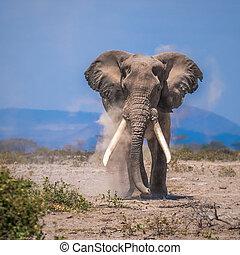 viejo, elefante