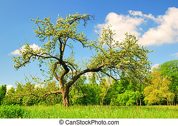 viejo, manzana, primavera, árbol, estación, flor
