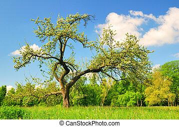 viejo, manzano, en el flor, en, estación del resorte