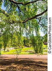 viejo, primavera, árbol, largo, time., abedul, ramas