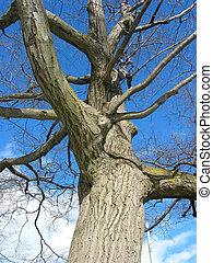 viejo, roble, árbol invierno