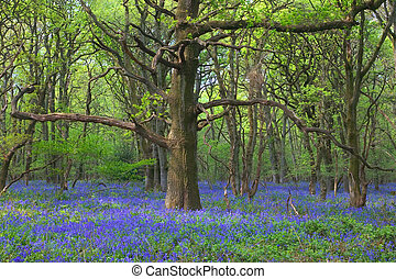 viejo, roble, bluebells