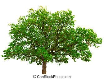 viejo, roble, corona, aislado, árbol, plano de fondo, blanco
