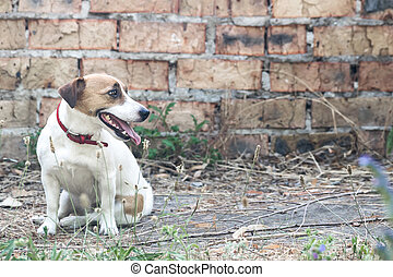 viejo, russell, sentado, pared, perro, luego, gato, plano de fondo, ladrillo, arruinado, terrier, edificio.