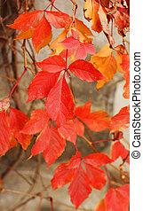 viejo, time:, pared, hojas, otoño, uva, rojo