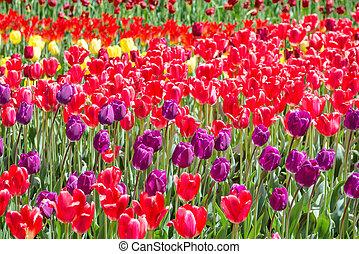 viele, bunte, tulpen