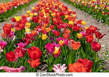 viele, bunter , tulpen, stehen, auf, a, tulpe feld