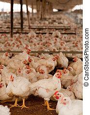 viele, hühner, amerika, peru, kinderbett, süden
