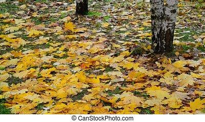 viele, nasse, gelbes ahornholzblatt, liegen, unter, der, bäume, in, herbst