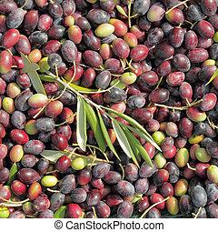 viele, roh, oliven, früchte, als, hintergrund, ernten zeit,...