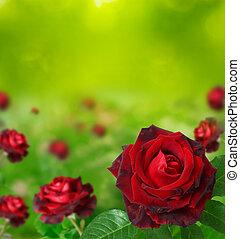 Viele, rotes, Rosen