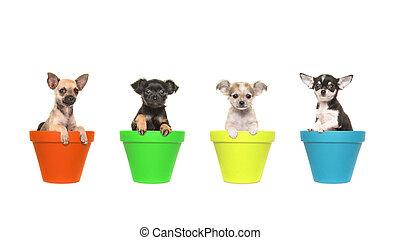 vier, chihuahua, junger hund, hunden, sitzen, in, colorfull, blumentöpfe, reihe, auf, a, weißer hintergrund